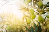 stock photo of grease  - Olives on olive tree in autumn - JPG