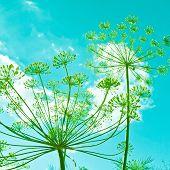 Umbelas de flores de funcho