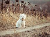 picture of westie  - Small dog  walks in the autumn field - JPG