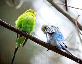 Cute Little Budgie Bird close-up