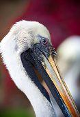Brown Pelican (Pelecanus occidentalis) in a river