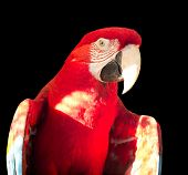 Green-winged Macaw, Ara chloropterus