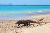image of komodo dragon  - Komodo Dragon walking at the beach on Komodo Island - JPG