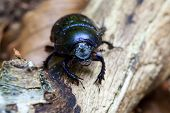 Forest dung beetle - super macro
