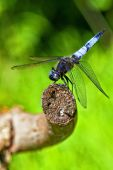 image of broad-bodied  - Broad-bodied Chaser - Libellula depressa in a macro shot