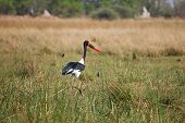 Saddle-billed Stork in Botswana, South Africa