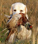 foto of duck-hunting  - portrait of hunting yellow labrador with pheasant - JPG