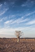 Generic Desert Scene With Blue Sky And Quiver Tree