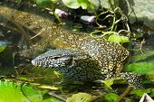 stock photo of monitor lizard  - A Nile Monitor Lizard  - JPG