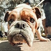 stock photo of pooch  - a cute bulldog vintage toned - JPG