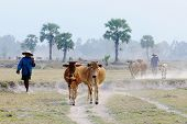 Khmer men pulling cows back to home in An Giang