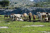 cows in a farmland in sicily