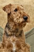 portrait of Airedale
