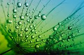 picture of dandelion  - Abstract macro photo of dandelion seeds with water drops - JPG