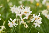 pic of narcissi  - National park of wild narcissies - Narcissus Valley. Famous Narcissus Valley the only in Europe reserve of the narrow leaf narcissuses. The international network of biosphere reserves by UNESCO.