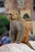 Sitting monkey, at Swayambhunath monkey temple. Kathmandu, Nepal