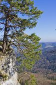 stock photo of swabian  - Crippled pinewood tree on the mountain ridge - JPG