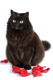 image of black cat  - cute black cat sitting in rose petals isolated over white background - JPG
