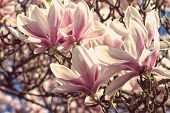 Flowers of magnolia close up with retro filter effect