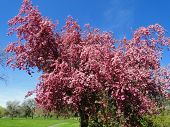 Pink Flowering Crab Apple