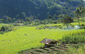 Rice field in Flores Indonesia