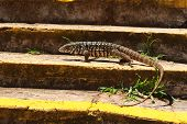 stock photo of monitor lizard  - Monitor lizard on stairs in profile. Selective focus