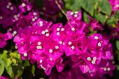 The Pink Bougainvillea In The Garden