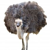 stock photo of ostrich plumage  - A Beautiful Female Ostrich Isolated on White - JPG