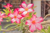 image of desert-rose  - Desert Rose Flowers - JPG