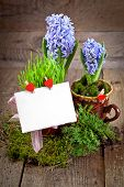 Fresh flowers hyacinths. Green concept