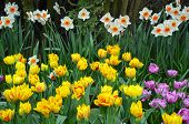 Spring Daffodils And Tulips