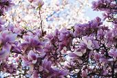picture of rare flowers  - Lot of magnolia flowers on a  tree in spring blossom - JPG