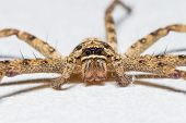 stock photo of huntsman spider  - Close up of huntsman spider or giant crab spider - JPG