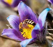 Honeybee On Pasqueflower