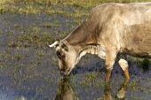 Cow grazing at lake Kerkini in Greece