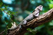 Frill-necked Lizard (chlamydosaurus Kingii)
