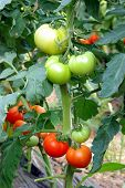 Tomatoes Ripening In Greenhouse