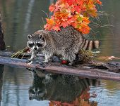 Raccoon (Procyon lotor) Stares At Viewer With Reflection
