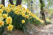 pic of daffodils  - Daffodils line a stone pathway through a green park - JPG