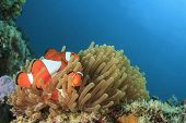 stock photo of clown fish  - Clown Anemonefish in anemone on underwater coral reef - JPG