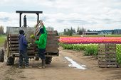 Migrant Workers Loading Flowers On Tractor Trailor