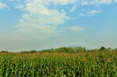 Corn Field Against The Sky