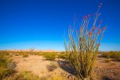 foto of ocotillo  - Ocotillo Fouquieria splendens red flowers in Mohave desert california USA - JPG