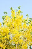 Golden Shower Tree (cassia Fistula)