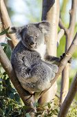 stock photo of herbivores  - A cute adorable adult koala bear sitting on a tree grasping a branch with its claws - JPG