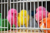 picture of qatar  - Young chicks painted in pink yellow and orange colors in a birdcage in the souq the old market of Doha in Qatar - JPG