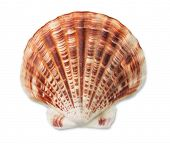 stock photo of scallop shell  - Scallop sea shell isolated on white - JPG