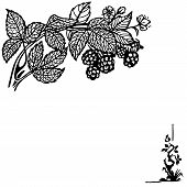 image of blackberries  - Blackberry branch with berries and flowers - JPG