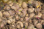 Israel Market Produce: Beet Roots