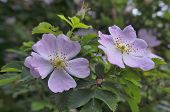 stock photo of climbing rose  - Rosa canina  - JPG